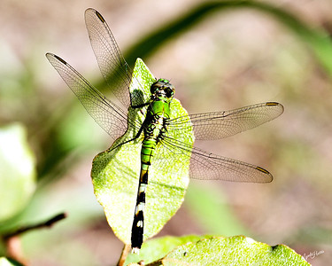 Dragonfly Green 2