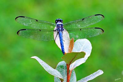 Dragonfly Blue 6