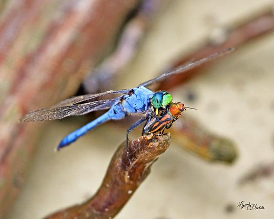 Dragonfly Dinner 1215