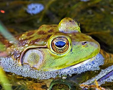 Bullfrog 1214
