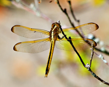 Dragonfly Orange 4