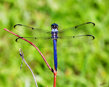 Dragonfly Blue 7