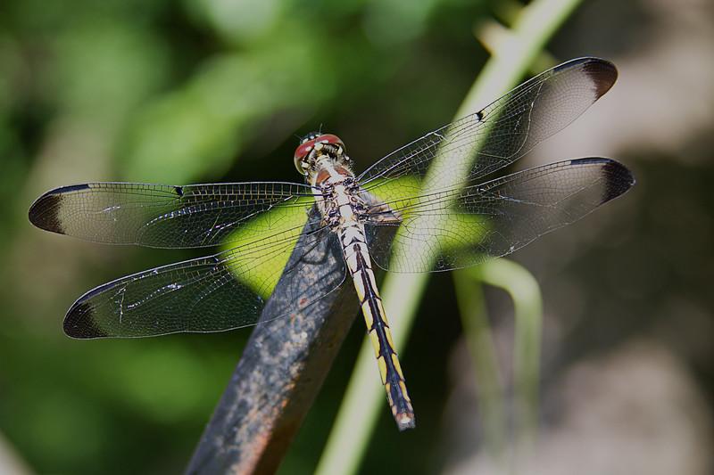 Blue Dasher Dragonfly - Female