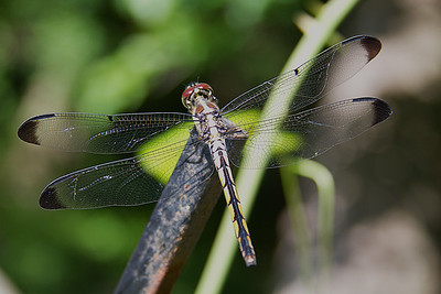Blue Dasher Dragonfly - Female