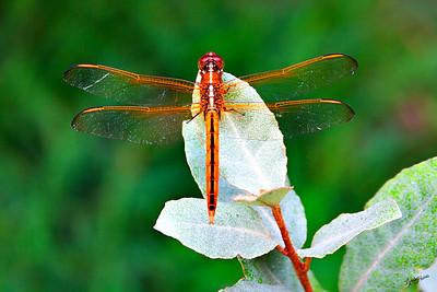 Dragonfly Orange 10