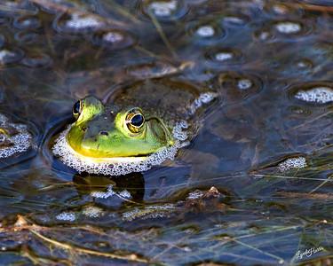 Bull Frog 6