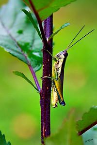 grasshopper300