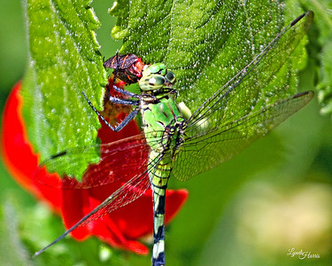 Dragonfly Eating 1216