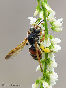 Andrenid Bees