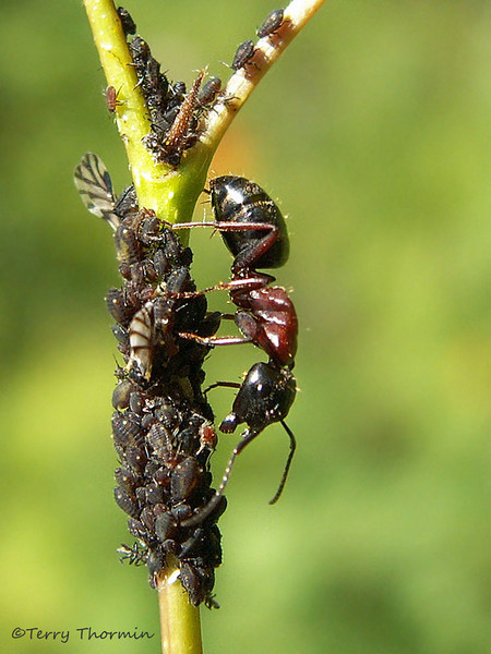 Wood ant and aphids, Formica sp. - Edmonton, Alberta