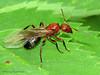 Wood ant alate (winged), Formica sp. - Elk Island N.P., Alberta