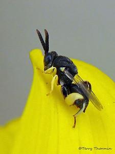Chalcidoid Wasps