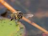 Honey Bee, Apis melifera in flight