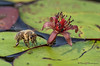 Honey Bee, Apis melifera feeding and Watershield, Brasenia schreberi