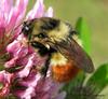 Tricoloured Bumblebee, Bombus ternarius - Qualicum Beach, B.C.
