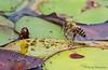Honey Bee, Apis melifera landing