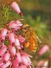 Honey Bee on Winter Heather, Apis melifera - Comox, B.C.