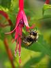 Tricolored Bumblebee at fuschia