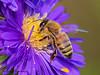 Honey Bee, Apis mellifer