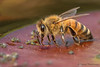 Honey Bee, Apis melifera feeding on aphid honeydew