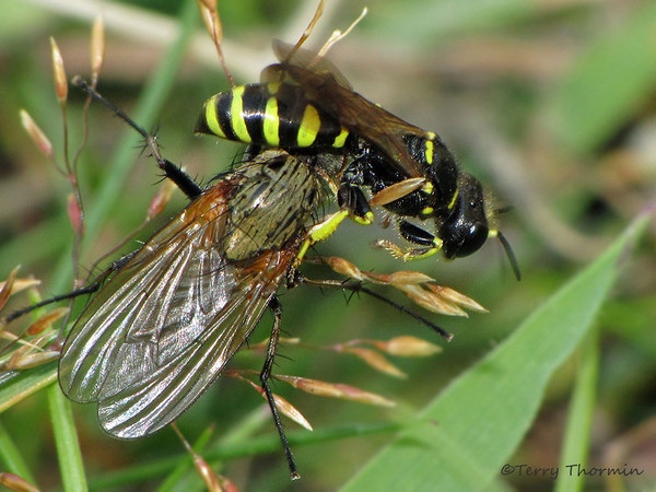 Hornets and Potter Wasps