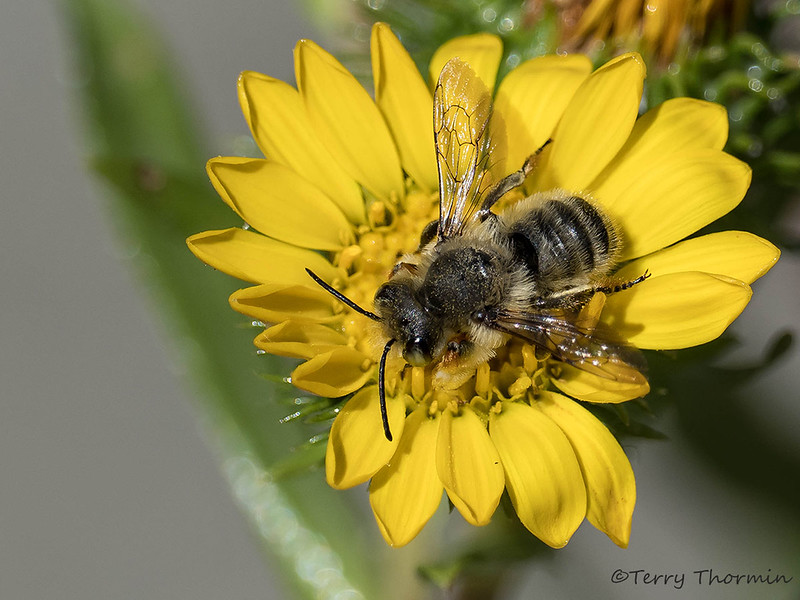 Possible leaf-cutter bee, Megachile sp.?