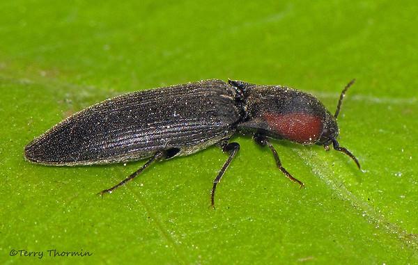 Click Beetles