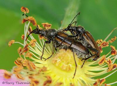 Long-horned Beetles