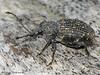 Black Vine Weevil, Otiorhynchus sulcatus - Comox, B.C.