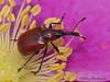 Rose Curculio, Merhynchites bicolor - Woodhus Slough, Oyster River, B.C.