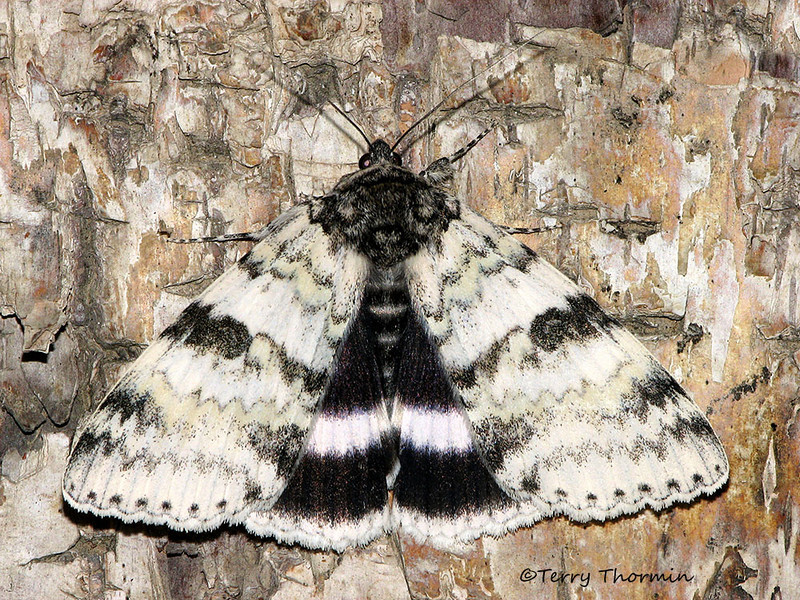 White Underwing, Catocala relicta - Edmonton, Alberta