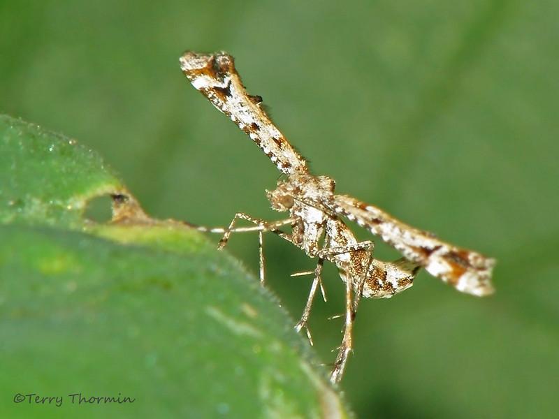 Plume Moth, Pterophorid - Elk Island N.P., Alberta