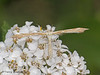 Plume Moth, Pterophorid - Woodhus Slough, Oyster River, B.C.