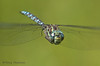 Canada Darner in flight, Aeshna canadensis