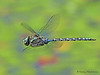 Canada Darner, Aeshna canadensis in flight - Little River Pond, Comox, B.C.