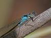 Pacific Forktail - Ischnura cervula