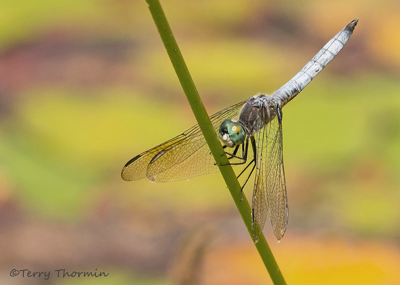 Blue Dasher, Pachydiplax longipennis