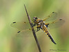 Four-spotted Skimmer, Libellula quadrimaculata