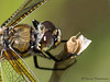 Four-spotted Skimmer, Libellula quadrimaculata portrait