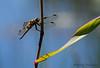 Four-spotted Skimmer, Libellula quadrimaculata