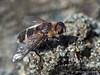 Bee Fly, Villa pretiosa
