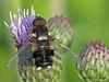 Bee Fly, Villa sp. - Jackfish Bay, Lake Newell, Alberta