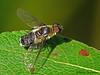 Bee Fly, Villa pretiosa - Clifford E. Lee sanctuary, Devon, Alberta