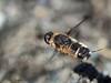Bee Fly, Villa pretiosa in flight
