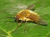 Bee Fly,  Systoechus sp. - Edmonton, Alberta