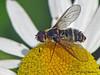 Bee Fly, Villa lateralis - Murray Marsh, Calahoo, Alberta