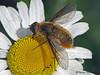 Villa fulviana - Bee Fly, Villa fulviana - Murray Marsh, Calahoo, Alberta
