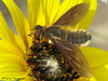 Bee Fly, Poecilanthrax sp. - Rolling Hills, 11 km NE, Alberta