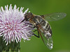 Bee Fly, Villa sp. - Wardlow, Alberta