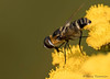 Bee Fly, Villa lateralis